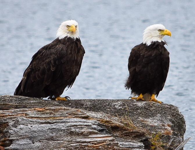 Sänna - Sea Eagles