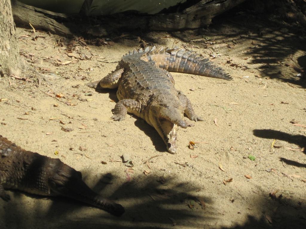 Sänna - Crocodile
