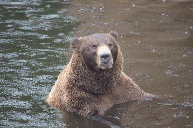 Sänna - Grizzly Bear