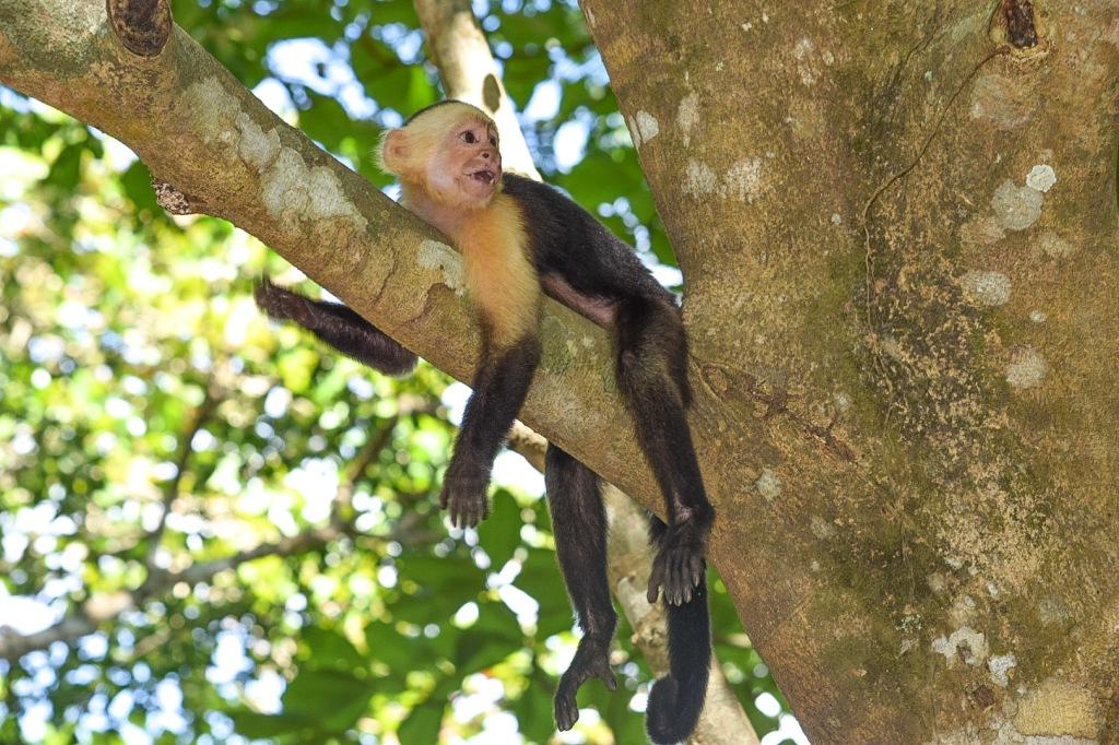 Sänna - capuchin Curu Wildlife Reserve