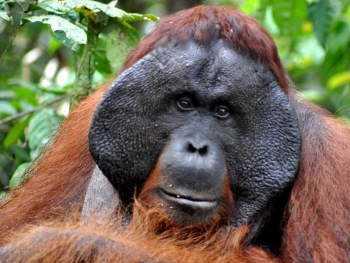Sänna Borneo Orangoutang