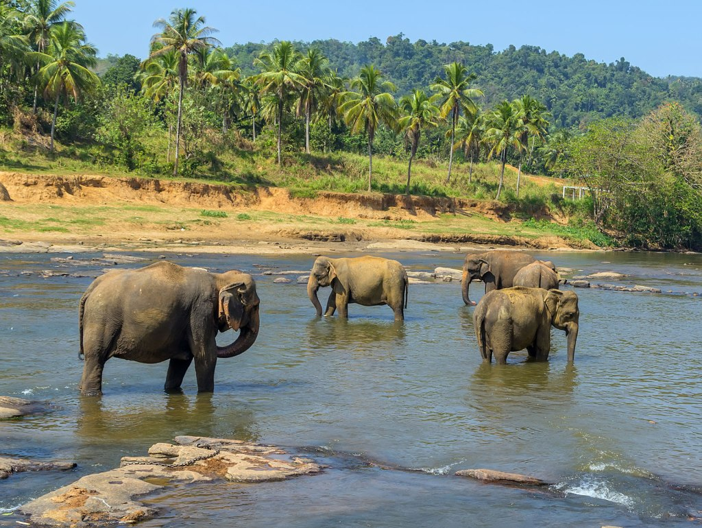 Sänna Borneo Pygmy Elephants
